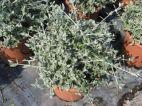 Teucrium olivillo